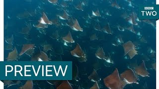 Download Orca hunt for mobula rays - Wild West: America's Great Frontier: Episode 3 Preview - BBC Two Video