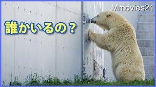 Download あの遊びよ再び!消えてしまったおもちゃにリラの行動は? Polar Bear play Video