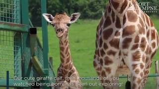 Download Our new giraffe calf has been out exploring! Video
