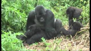 Download Gorillas mating footage Rwanda - World Primate Safaris Video