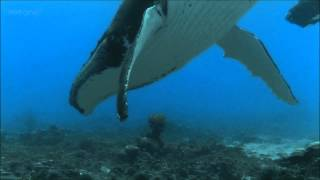Download Humpback Whales - BBC documentary excerpt Video