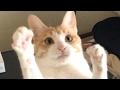 Download 【ゆるかわ!】やる気のない猫【可愛すぎ!】 Video