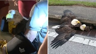 Download Two Bald Eagles Rescued from Drainage Ditch on Florida Highway Video