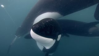 Download GoPro: Orca Rescue in 4K Video