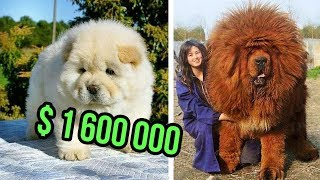Download THE Most EXPENSIVE DOG BREEDS In The World Video
