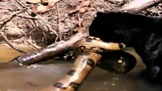 Download Male Jaguar and Black Panther Versus Green Anaconda Better version in HD Video