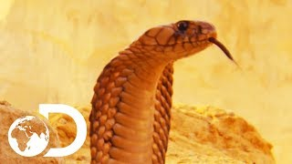 Download The Most Deadly Snake Of The Egyptian Desert | Wildest Middle East Video