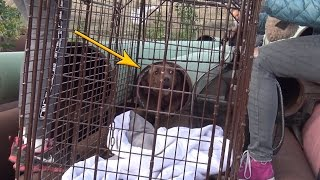 Download Scared homeless Pit Bull hides in a tiny pipe for many weeks until Hope For Paws was called Video