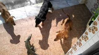 Download Cães vs Lagarto Video