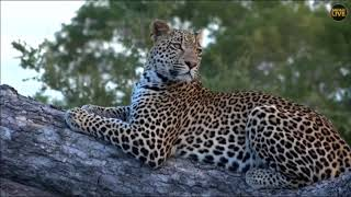 Download SafariLive April 04 - Three male leopards in one drive! Video