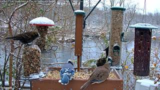 Download First Snowfall Brings Birds To Cornell Feeders – Nov. 8, 2019 Video