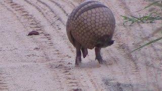Download Tatu virando bola, Armadillo rolls into a ball - In the wild Brazil Video