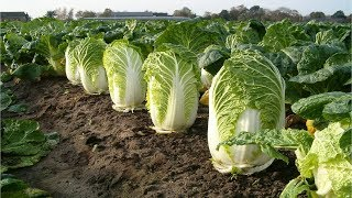 Download Beautiful Chinese Cabbage Farm and Harvest in Japan - Japan Agriculture Technology #47 Video