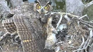 Download Mom Great Horned Owl Reacts to Threat to Chicks Video
