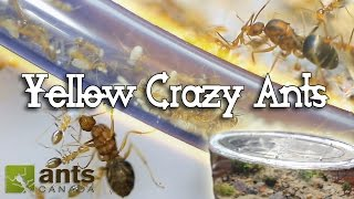 Download ANT WAR or SUPERCOLONY: New Yellow Crazy Ants Video