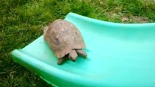 Download ″Turtles and Tortoises on Slides Compilation″ || CFS Video
