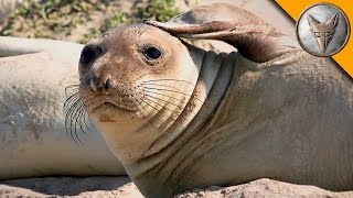 Download Elephant Seal Research Mission! Video