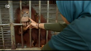 Download Indonesia - Help for Orangutans | Global 3000 Video