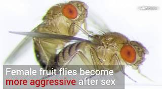 Download Female fruit fly post-coital aggression Video