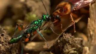 Download Beautiful wasp zombifies cockroach Video