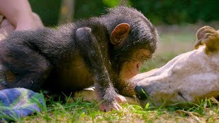 Download Puppies and Baby Chimpanzees Make The Cutest Friends | BBC Earth Video