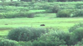 Download How Fast Can a Grizzly Bear Run? Video