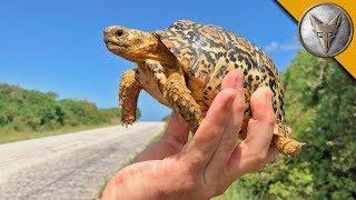 Download Tiny Tortoise Dodges Traffic! Video