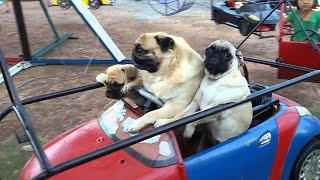 Download Pug Family Rides The Carousel || ViralHog Video