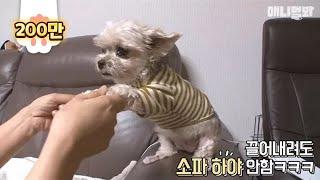 Download 소파에서 절대 안 내려오는 강아지?! Video
