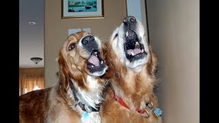 Download Best of Dogs 🎤🐶 Awesome Dogs Singing (Full) [Funny Pets] Video