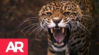 Download Leopardo causó pánico en ciudad india Video