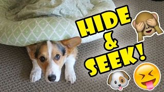 Download CORGI DOG PLAYS HIDE AND SEEK WITH ME! Video