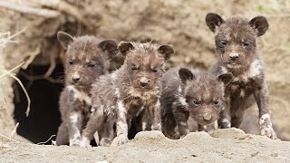Download Wild Dog Puppies Emerge for the First Time - Super Cute! Video