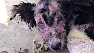 Download Saving Mason Starving and mange Update Adopted TracysDogs Video