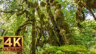 Download 4K/UHD Nature Scenes + Relaxing Music | Hoh Rain Forest Summertime Scenery - Trailer 32 Video