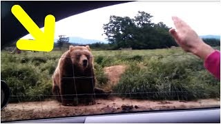 Download A Woman Waved At This Bear From The Safety Of Her Car – And The Animal's Reaction Was Caught On Film Video