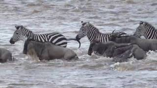 Download LIVE from the Wildebeest migration Video