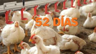 Download Bachoco - Engorda Video