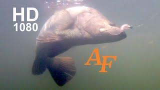 Download Jungle Fishing Video Barramundi Tagged fish Andyfishing EP.149 Video