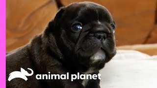 Download Adventurous French Bulldog Pups Can Get Up To All Sorts Of Mischief!   Too Cute! Video