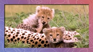 Download Cheetahs Grow Up in the Wild Video