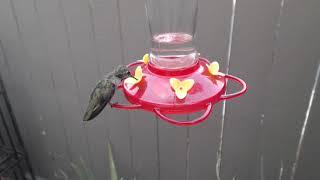 Download Bella Hummingbird Nest Cam 08-09-2018 18:13:33 - 19:13:33 Video
