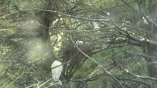 Download Alligator Swamp and Spoonbills Cam 08-27-2018 04:34:38 - 05:34:39 Video