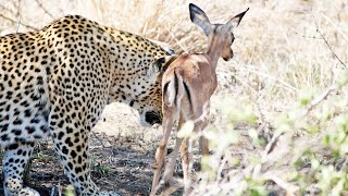 Download When the Leopard Lies Down With the (Impala) Lamb Video