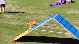 Download Small Dog Agility - 2013 Purina® Incredible Dog Challenge® Las Vegas Video