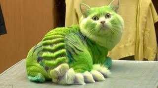 Download 10 MOST DANGEROUS CAT BREEDS Video