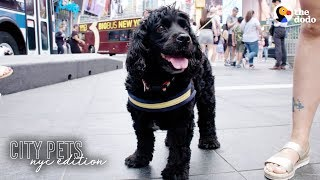 Download Rescue Dog Loves Being A Spongebob Broadway Star | The Dodo City Pets Video