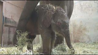 Download アジアゾウの誕生~東山動植物園~ Video