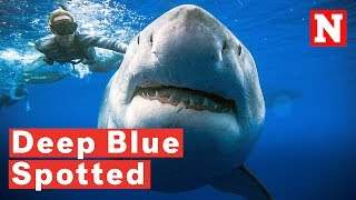 Download Massive Great White Shark 'Deep Blue' Spotted Off Hawaii Coast Video