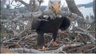 Download Big Bear Eagles~ J & S BEDROOM Chortles! ♫ Morning & Evening Nest Work! Bluebirds, Jay Visit 12.3.19 Video